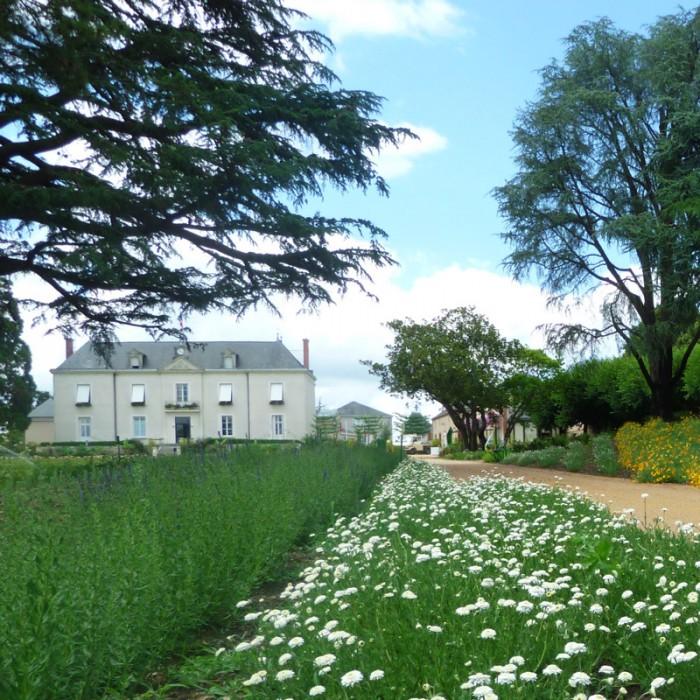 camomille Jardin Camifolia